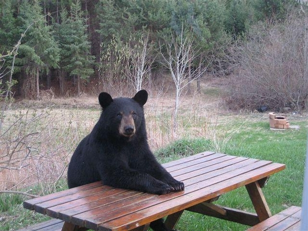 Bear_at_table